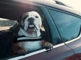 30% van de hondenbezitters veroorzaken onveilige situaties door hond los in auto te vervoeren